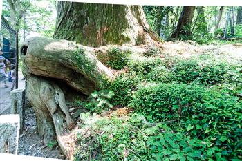 たこ杉.jpg