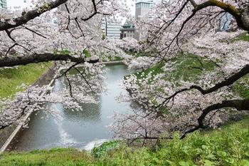 千鳥ヶ淵の桜10.jpg