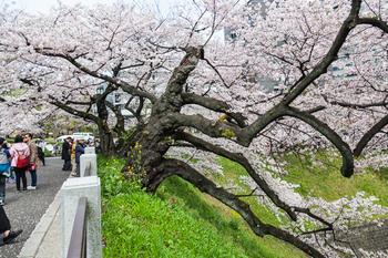 千鳥ヶ淵の桜11.jpg