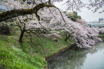 千鳥ヶ淵の桜16.jpg