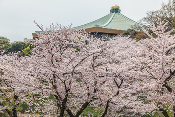 千鳥ヶ淵の桜3.jpg