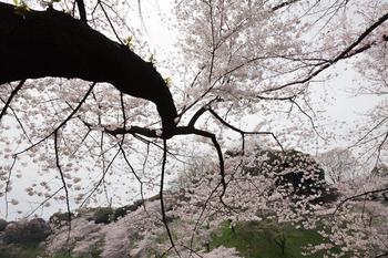 千鳥ヶ淵の桜5.jpg