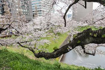 千鳥ヶ淵の桜8.jpg