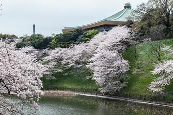 千鳥ヶ淵の桜1.jpg