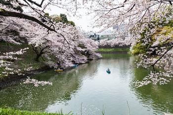 千鳥ヶ淵の桜12.jpg