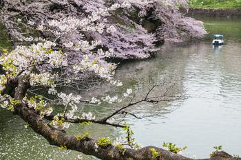 千鳥ヶ淵の桜14.jpg