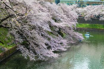 千鳥ヶ淵の桜15.jpg