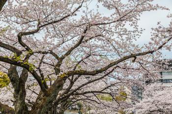 千鳥ヶ淵の桜18.jpg