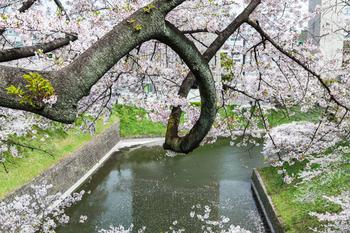 千鳥ヶ淵の桜19.jpg