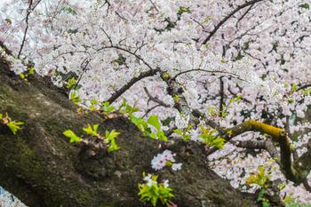 千鳥ヶ淵の桜20.jpg