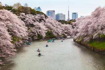 千鳥ヶ淵の桜23.jpg