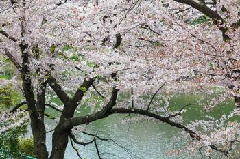 千鳥ヶ淵の桜4.jpg
