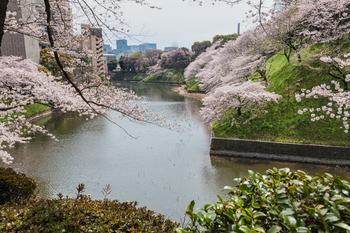 千鳥ヶ淵の桜6.jpg