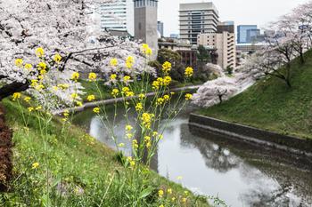 千鳥ヶ淵の桜7.jpg