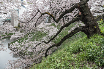 千鳥ヶ淵の桜9.jpg